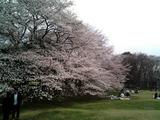 砧公園の桜05