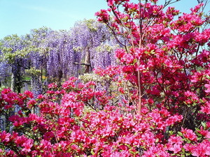 あしかがフラワーパーク満開で見頃の藤の花とつつじ