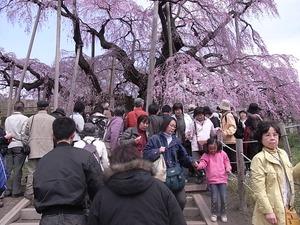 三春滝桜を撮ってる人たち3