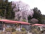 浪岡邸の枝垂桜2