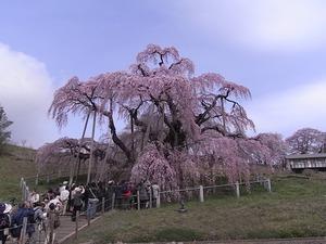 三春滝桜を撮ってる人たち1