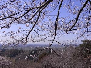 太平山 謙信平からの眺めと桜2