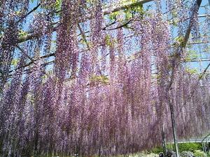 あしかがフラワーパーク満開で見頃の紫色の雨ような大藤の花