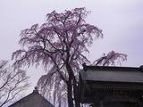 法華寺の桜2