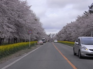 八郎潟11kmの菜の花と桜並木 コーナー手前