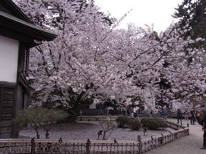 弘前城与力番所となりの日本最古のソメイヨシノ