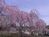 歴史民俗資料館の桜3