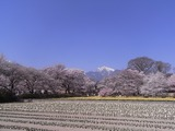 実相寺境内の外から桜を見る1