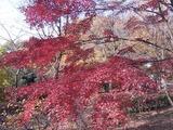 かえで園の紅葉1