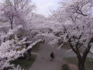 北上展勝地 満開の桜のトンネル2
