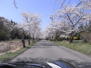 太平山遊覧道路 桜のトンネル3