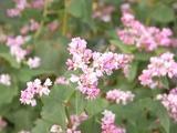 やや白っぽいそばの花1