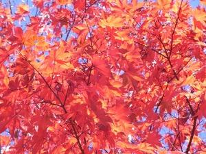昭和記念公園日本庭園の紅葉01