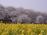 満開の桜並木と菜の花畑2