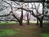 砧公園の桜07