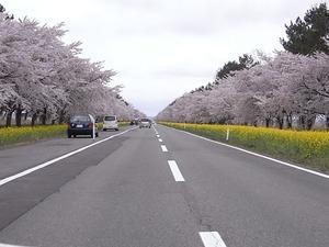 八郎潟11kmの菜の花と桜並木 コーナー過ぎ