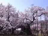 山高神代桜2