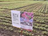 赤花そば祭りポスターとそば畑