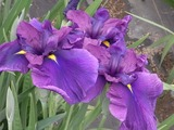 濃い青紫色の花菖蒲3
