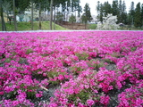 羊山公園の芝桜5