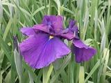濃い青紫色の花菖蒲2