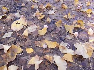 国営昭和記念公園のギンナン03
