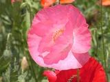 ピンクのポピー2
