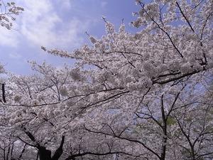 北上展勝地 目一杯花を咲かせた桜並木5