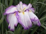 紫色で縁取った花菖蒲2