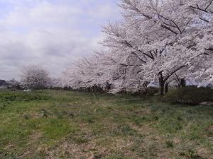 北上展勝地 一列に並んだ満開の桜並木2