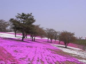 太田市北部運動公園 おおた芝桜まつり 桜の木と芝桜3