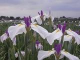 白と紫色の花菖蒲3