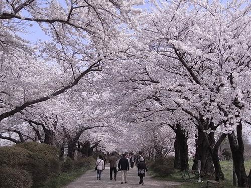 北上展勝地の満開の桜並木メイン