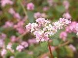 やや白っぽいそばの花3