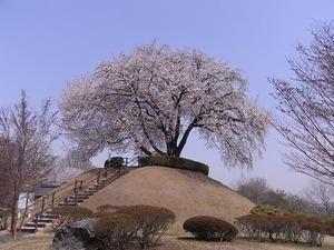 つがの里桜遠景