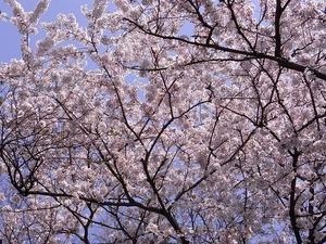 太平山謙信平の満開の桜