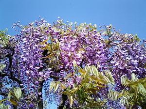あしかがフラワーパーク満開で見頃の小振りな藤の花のアップ1