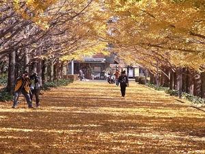 昭和記念公園立川口のイチョウ並木の中02