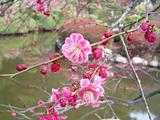 梅が満開水戸偕楽園13