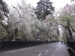 角館 しだれ桜の咲く早朝の武家屋敷を道路右側から見る