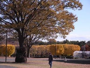 昭和記念公園立川口のイチョウ並木の遠景01
