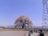 鉄塔と王仁塚の桜2