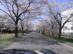 太平山遊覧道路 桜のトンネル4