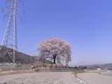 鉄塔と王仁塚の桜1