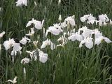 白い花菖蒲たち