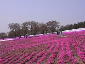 太田北部運動公園おおた芝桜まつり ピンク色の芝桜