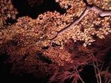 長瀞紅葉ライトアップ010