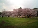 砧公園の桜16