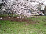 砧公園の桜02
