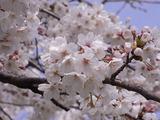 満開の桜アップ2